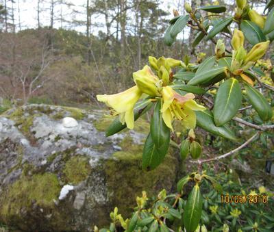 """Den gule Rhododendron 'Goldstrike' som står foran """"Dunkesteinen"""" fekk også..."""