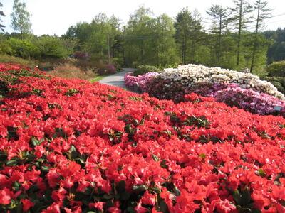 """Rh. Juwel presenterar eit hav av raude blomar på den """"Røde plass"""" i Nydalen"""
