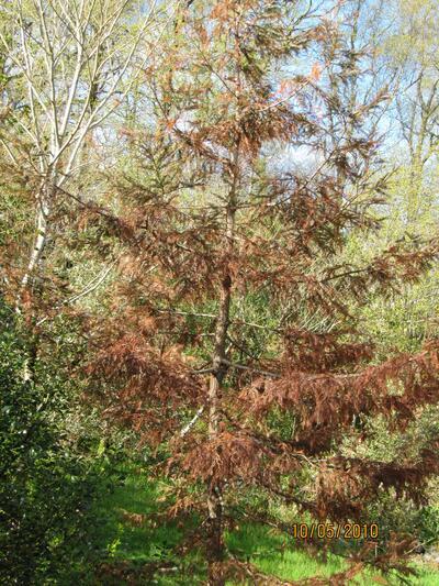Kystmammuttreet, Sequoia sempervirens, som har vokst uskadd opp til 6 meters...