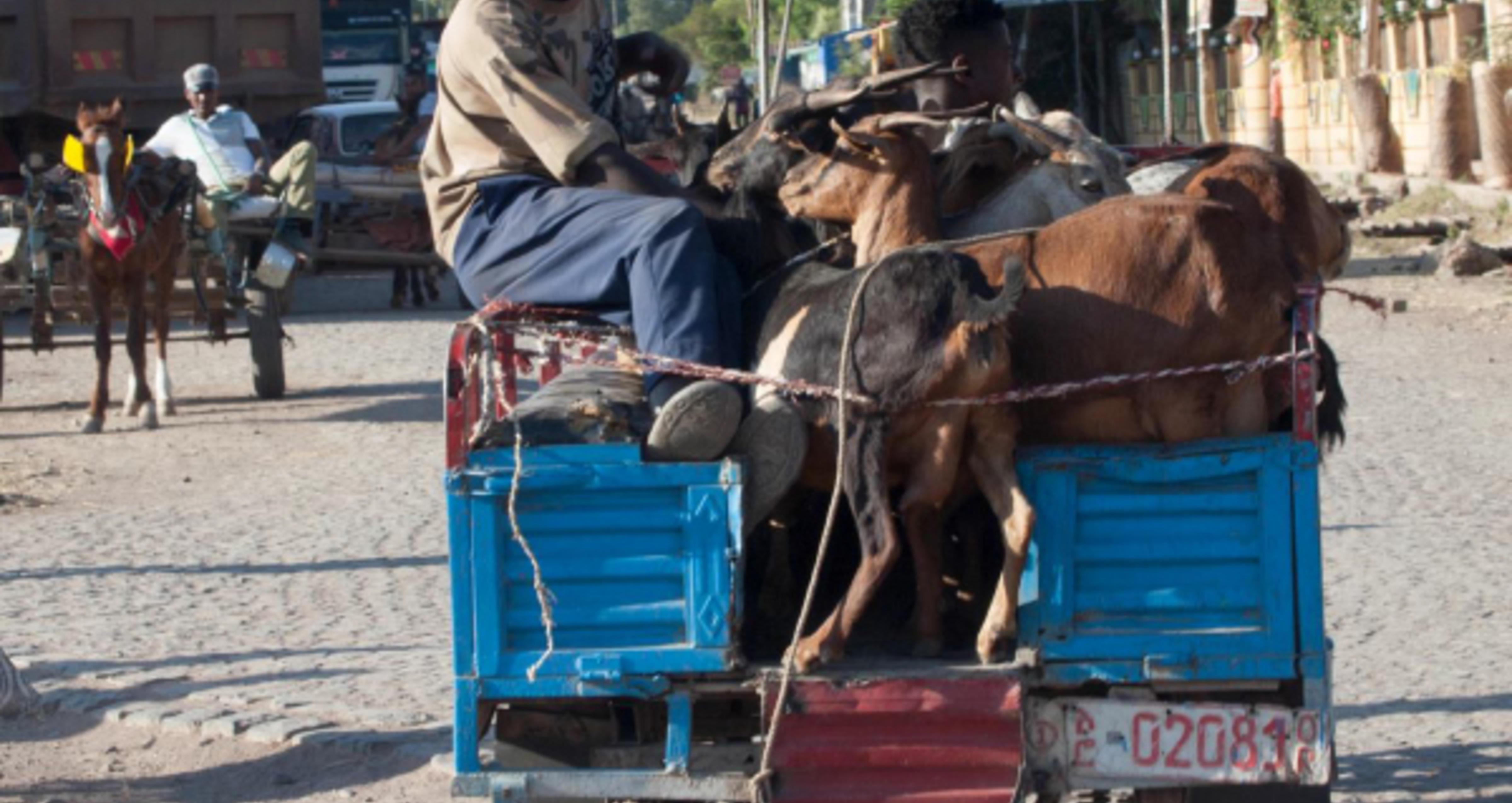 Tranport av mennesker og dyr på lasteplan i Etiopia.