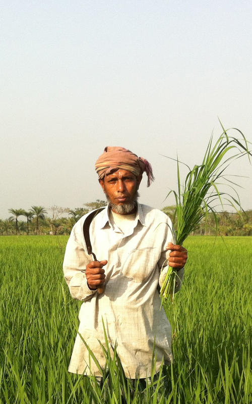 Man in rice field, Bangladesh
