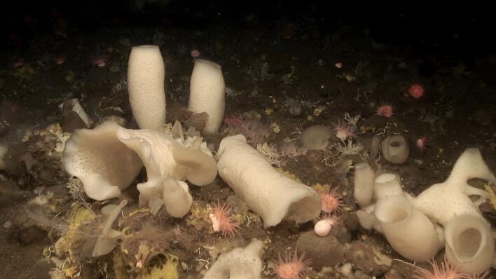 svampebotn på 600 meters djup i Schultz-massivet, vest for Bjørnøya.