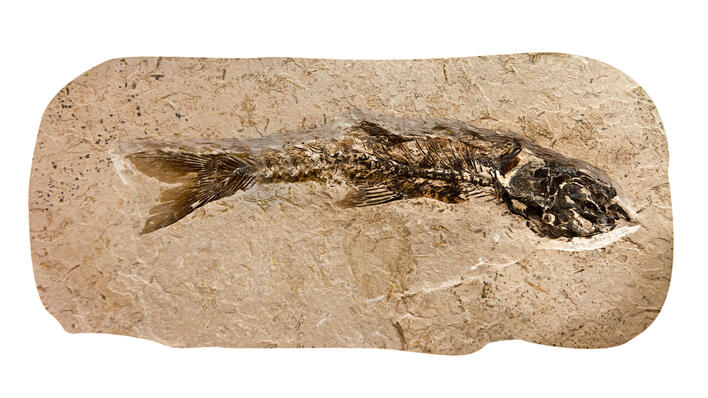 Image of fish fossil, used to illustrate article about the fossil record.