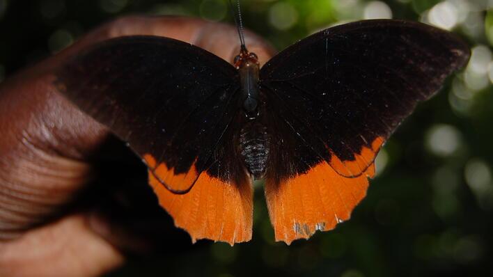 Sommerfugl fra Mabira-skogen, øst for Ugandas hovedstad Kampala.