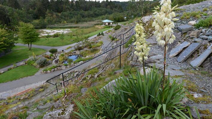 Yucca filmaentosa blomstrer.