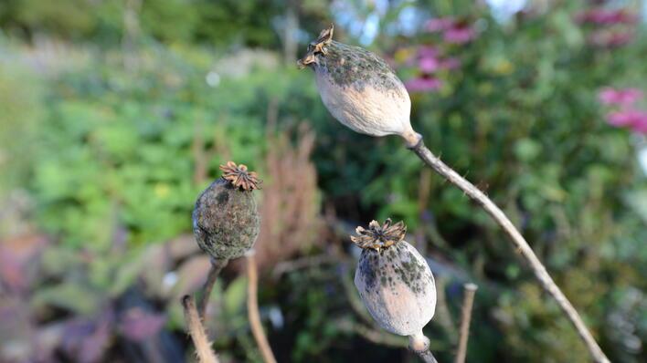 Opiumsvalmue i utstillingen av magiske urter.