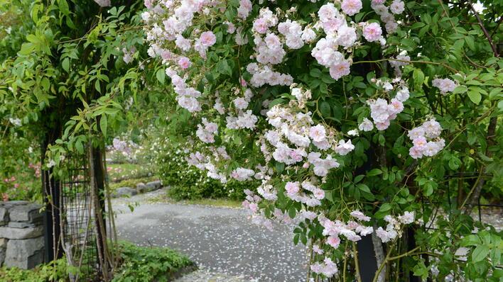 Den store klatrerosen ved rosebøylen til de moderne rosene.