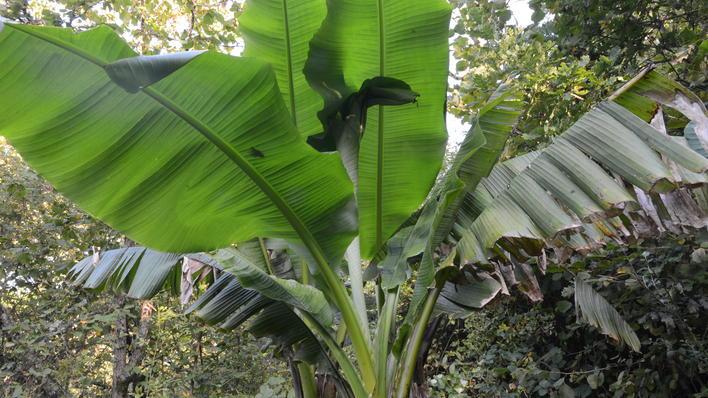 Bananplante blad