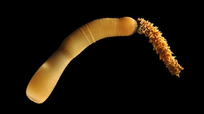 Priapulider har samme tarmdannelse som mennesker, fisk, frosker, sjøstjerner...