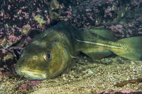 Atlantic cod photo