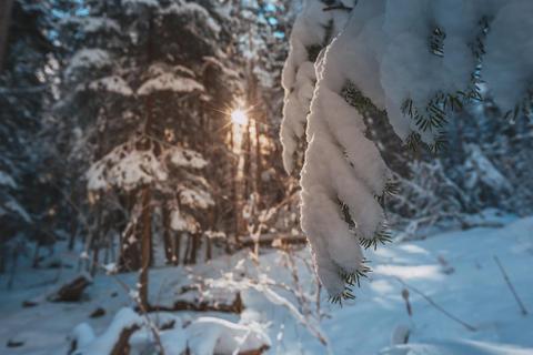Snø på trær