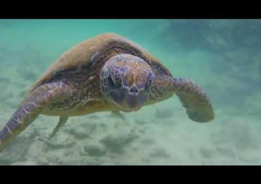 Snorkeling with Sea Turtles (in HAWAII)