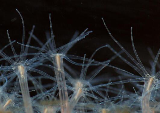 Nematostella vectensis (Cnidaria, Anthozoa)