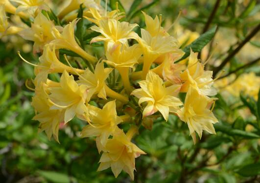 Rh Narcissiflora