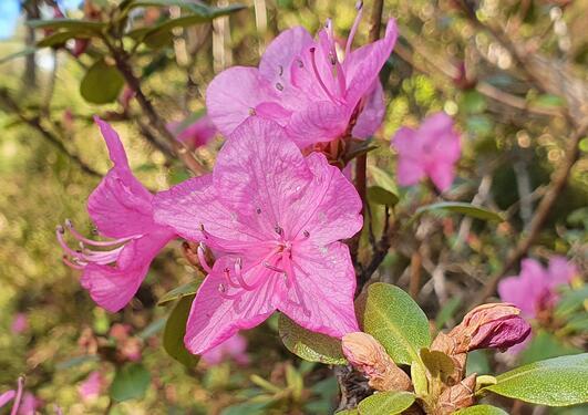 Pink Rhododendron dauricum flowering in May 2021