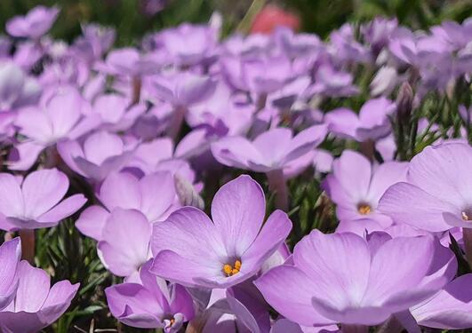 Phlox in the alpine garden