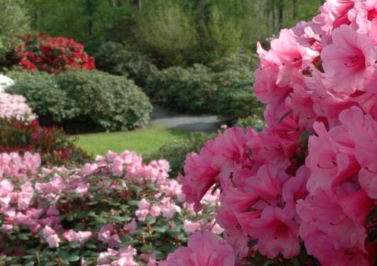 Rhododendron kultivarsamling