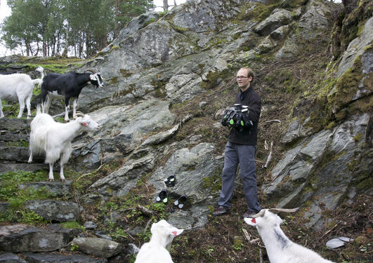 Goats at Storøyen