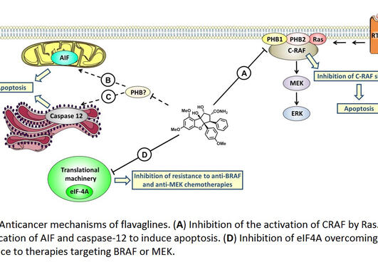 Figure. Anticancer mechanisms of flavaglines