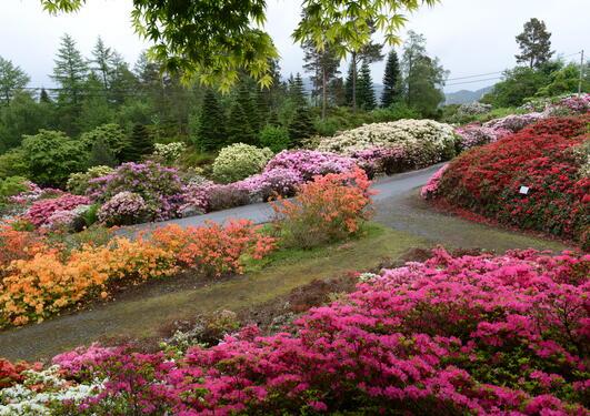 Rhododendron i kultivarsamlingen