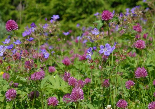 Blomstereng med skogstorkenebb, rødkløver og engsoleie