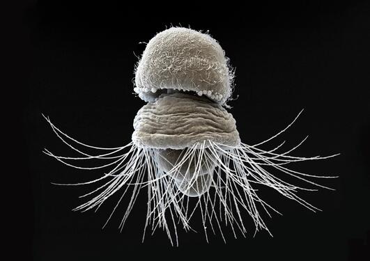 Brachiopod under a microscope