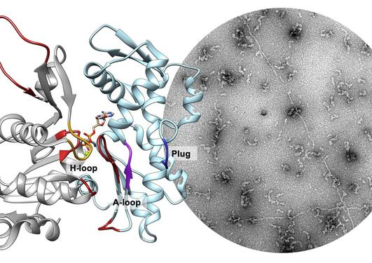 Plasmodium aktin