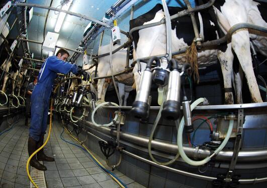 en bonde står med melkeapparat klar for å melke kyrne sine