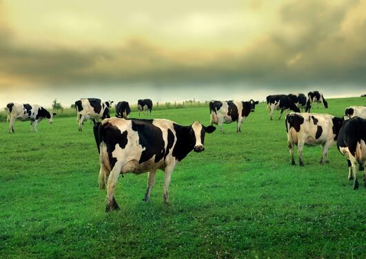 Photo of cows in a green, green field.