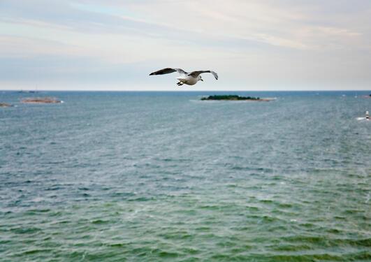 Måke flyr over Nordsjøen