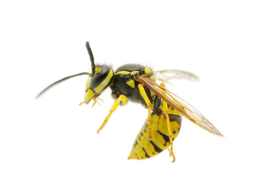 Wasp. Illustration