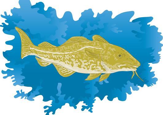 Atlanterhavstorsken (Gadus morhua)