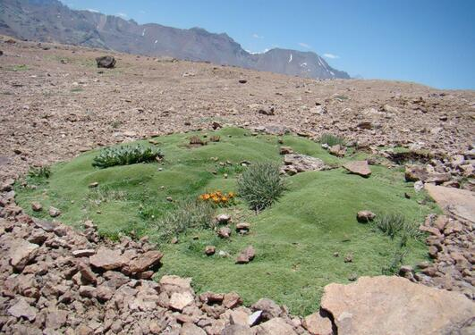 Cushion plant on a rocky plateau in Chile