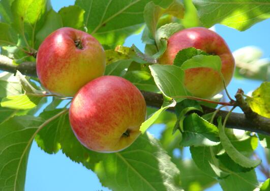 Epler i Botanisk hage