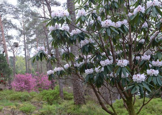 Rhododendron artssamlingen