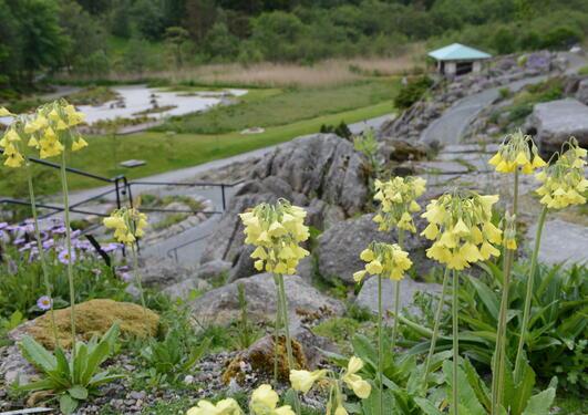 primula i fjellhagen