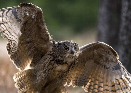 en ugle med vingene utslått