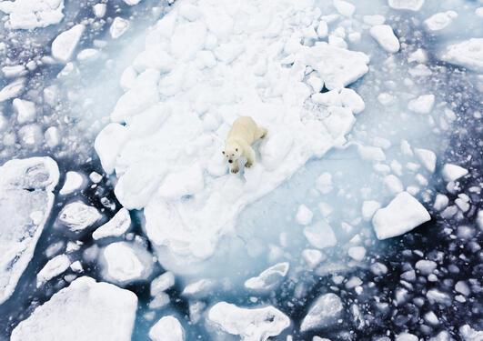 Isbjørn på isflak