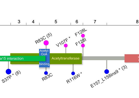 Schematic representation of the Naa10 protein, encoding exons, domains and localization of mutations in affected males and females.