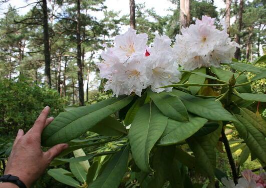 Rhododendron glandulifera