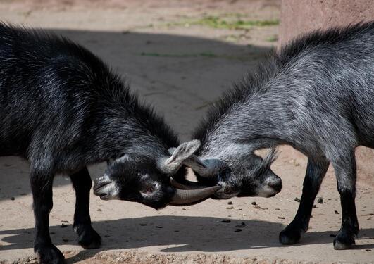 To geiter som slåss/konkurrerer