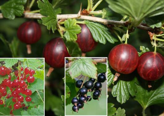 Rips, solbær og stikkelsbær