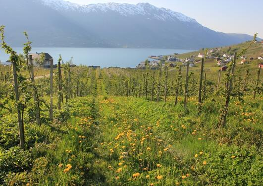 A view between two rows of apple trees towards Hardanger fjord