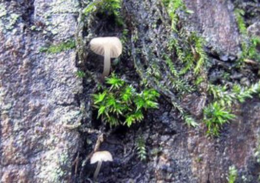 Bilde av den lille soppen Mycena pseudocorticola på almebark