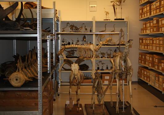 Osteologisk samling