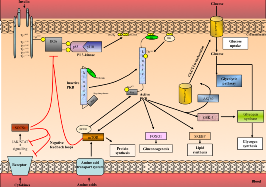 Insulin signaling