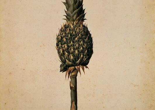 Pineapple (Bromelia ananas)