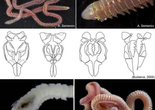 Lumbrineridae