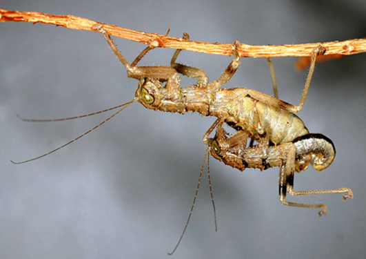 Mantophasmatodea mating