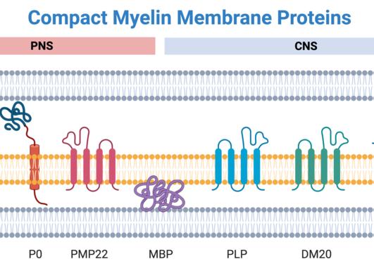myelin membrane proteins